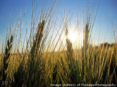 wheatfield-FladagerPhotography.jpg