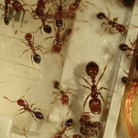 Solenopsis invicta fire ants on an Illumina MiSeq sequencing flowcell